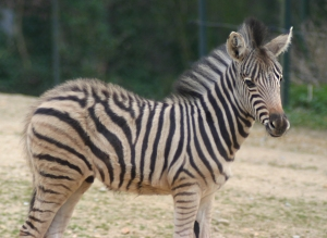 zebra_by_parides-d4nd97i